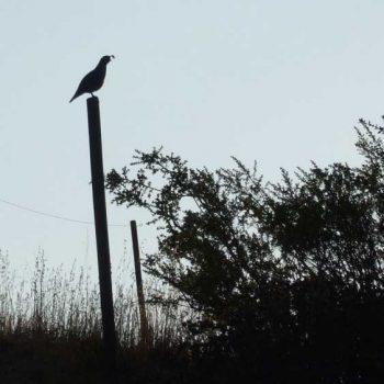 Kens-quail-photo