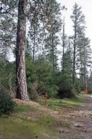 Photo by Kevin Collins of Ponderosa Pines along Graham Hill Rd. with PG&E's gas pipeline markers. May, 2016