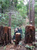 Large redwood stumps on Pilger Road. Nov. 15, 2018