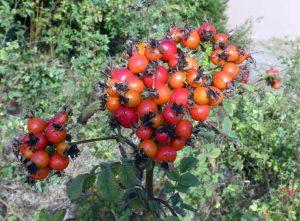 Rosehip cluster of Wild-Roses