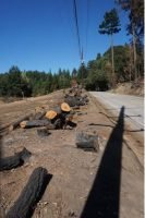 Pine Flat Rd., all trees within ROW removed; many other trees across the street also removed.