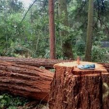 """Redwoods downed, well over 24"""" AFTER PG&E assured redwoods would be protected."""