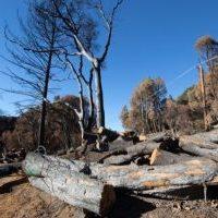 live oaks cut down